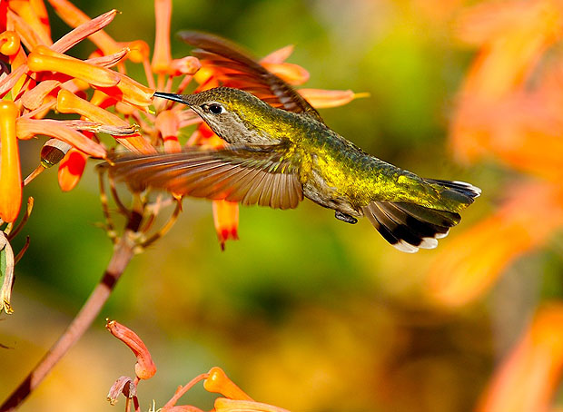 Hummingbird hovering near a flower