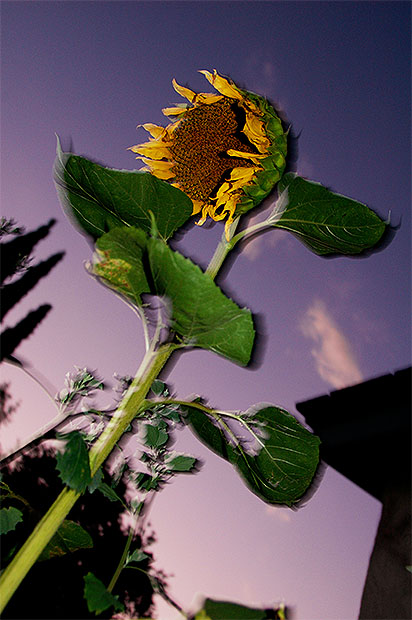 Slow sync flash photo of a sunflower against the evening sky