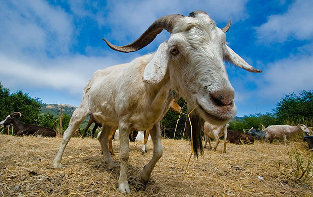 Goat photographed using a wide angle lens