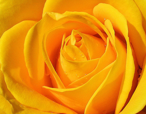 Vibrant yellow rose